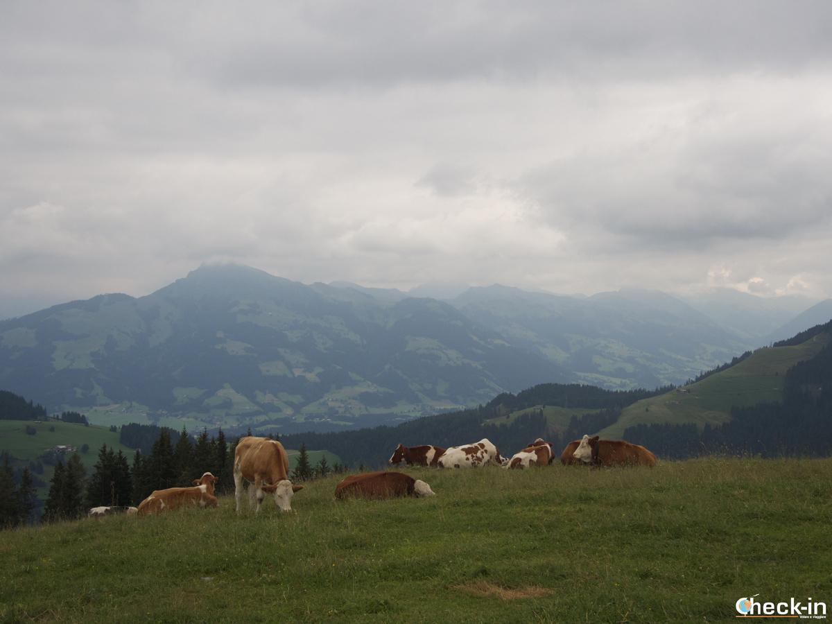 Mucche al pascolo all'Hartkaiser