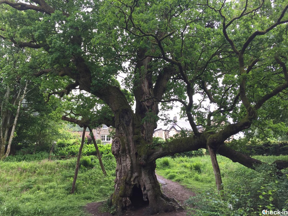 The Birnam Oak mentioned in Shakespeare's Macbeth - Perthshire, Scotland