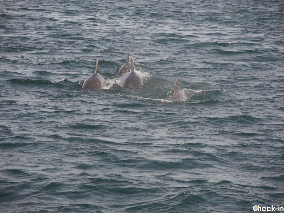 Un grupo de delfines nos rodean durante la salida en catamarán por la ría de Arousa, Galicia