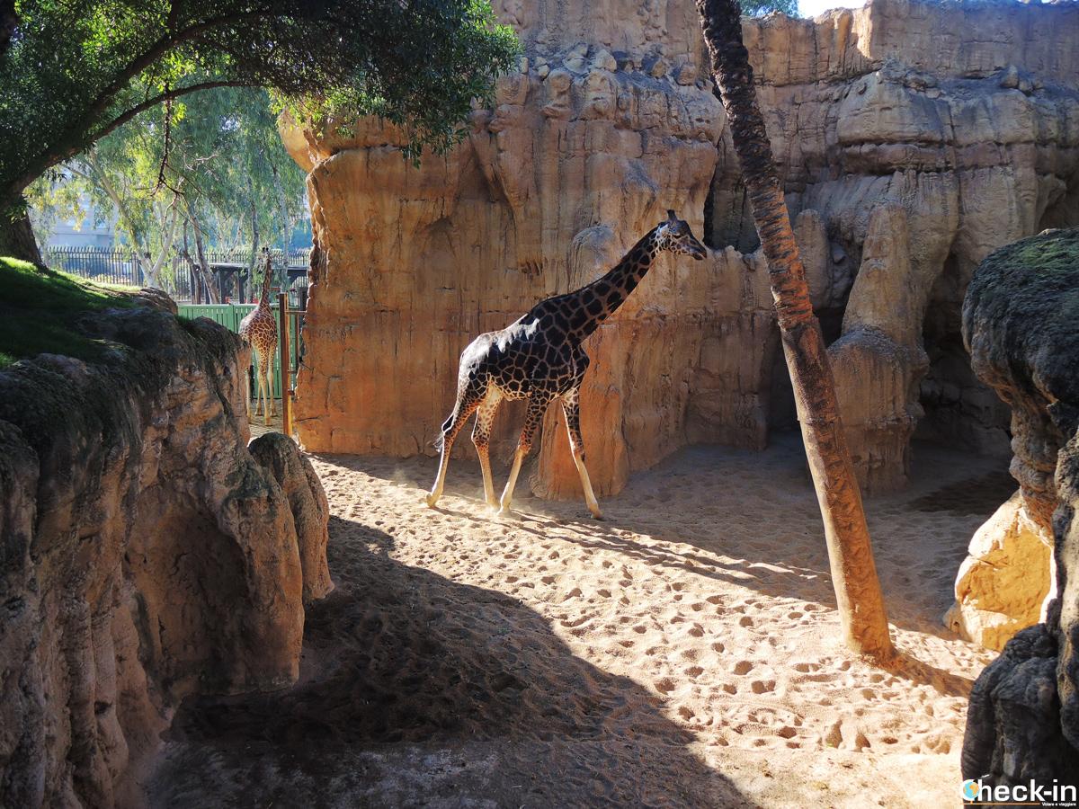 Incontro ravvicinato al Bioparc di Valencia con la giraffa