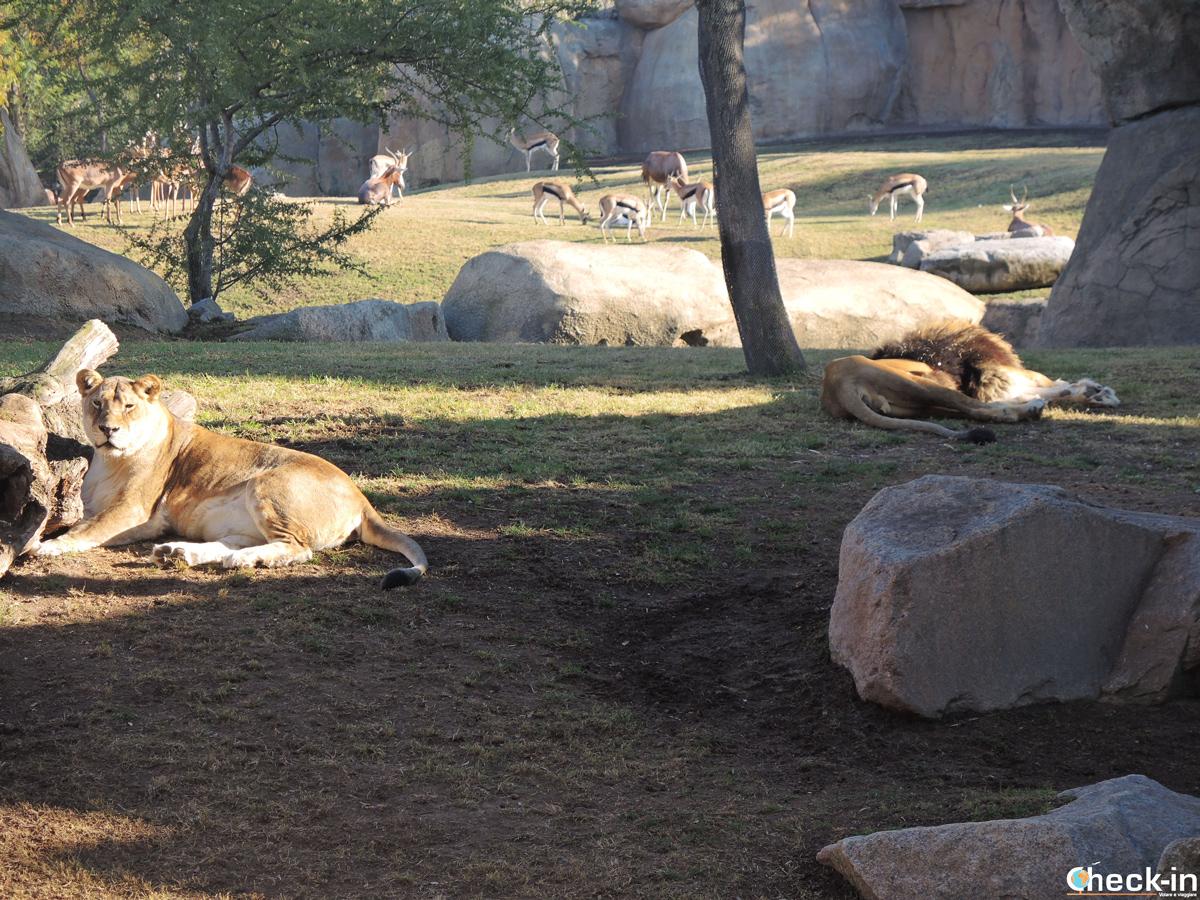 Leonessa e leone al Bioparc di Valencia - Giardini del Turia