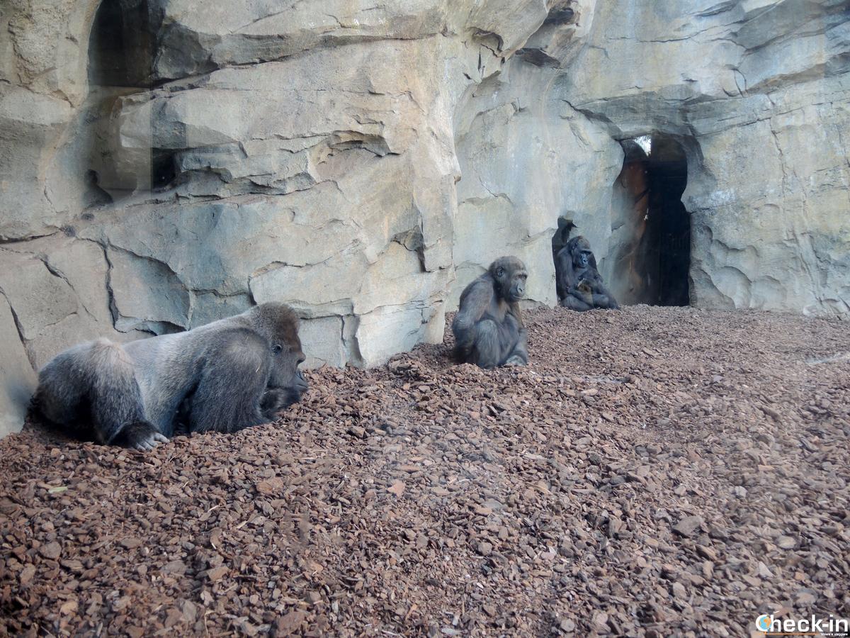 Gli scimpanzé al BIoparc di Valencia (Spagna)