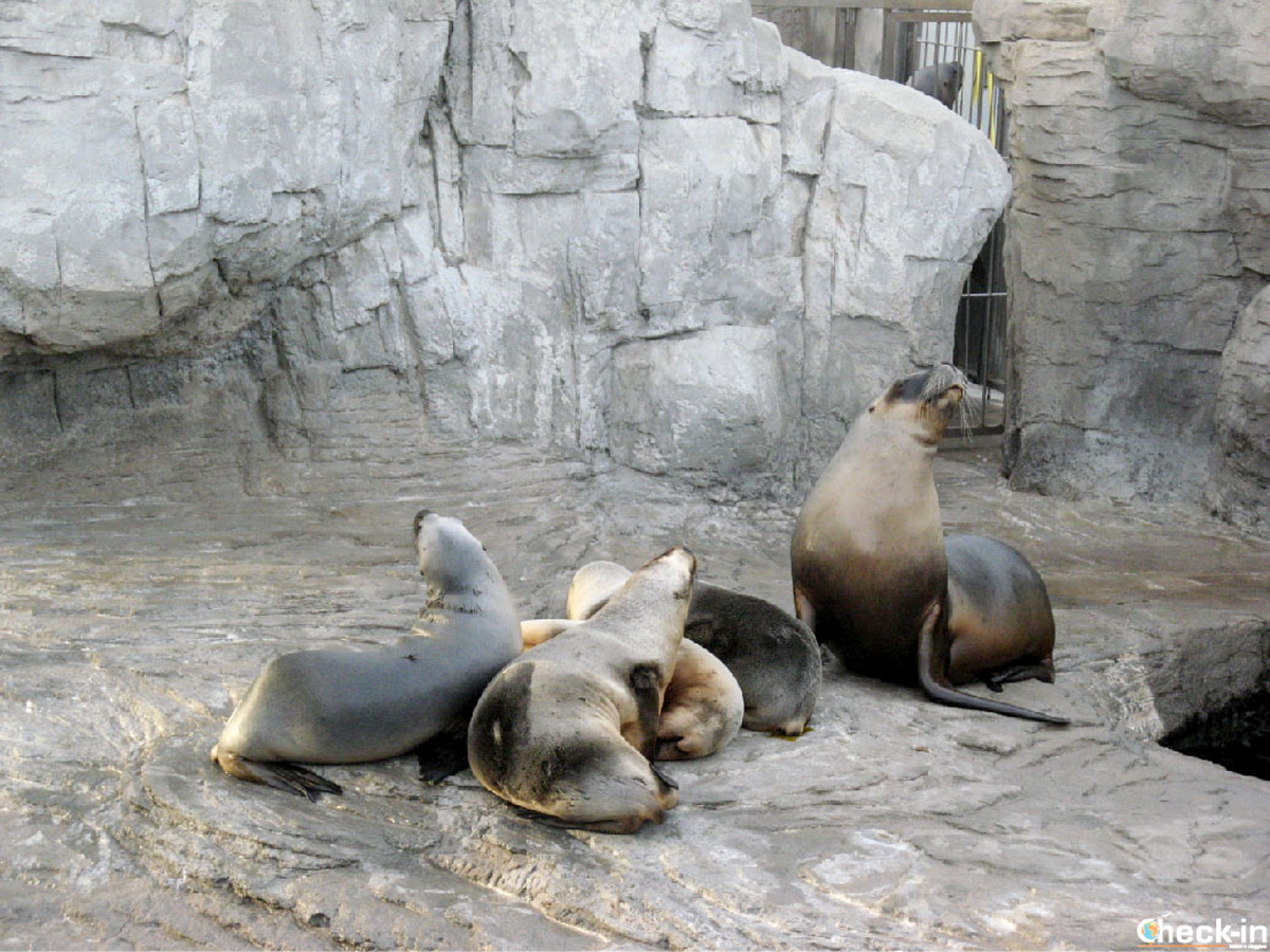 Le foche all'Oceanografico di Valencia (Spagna)