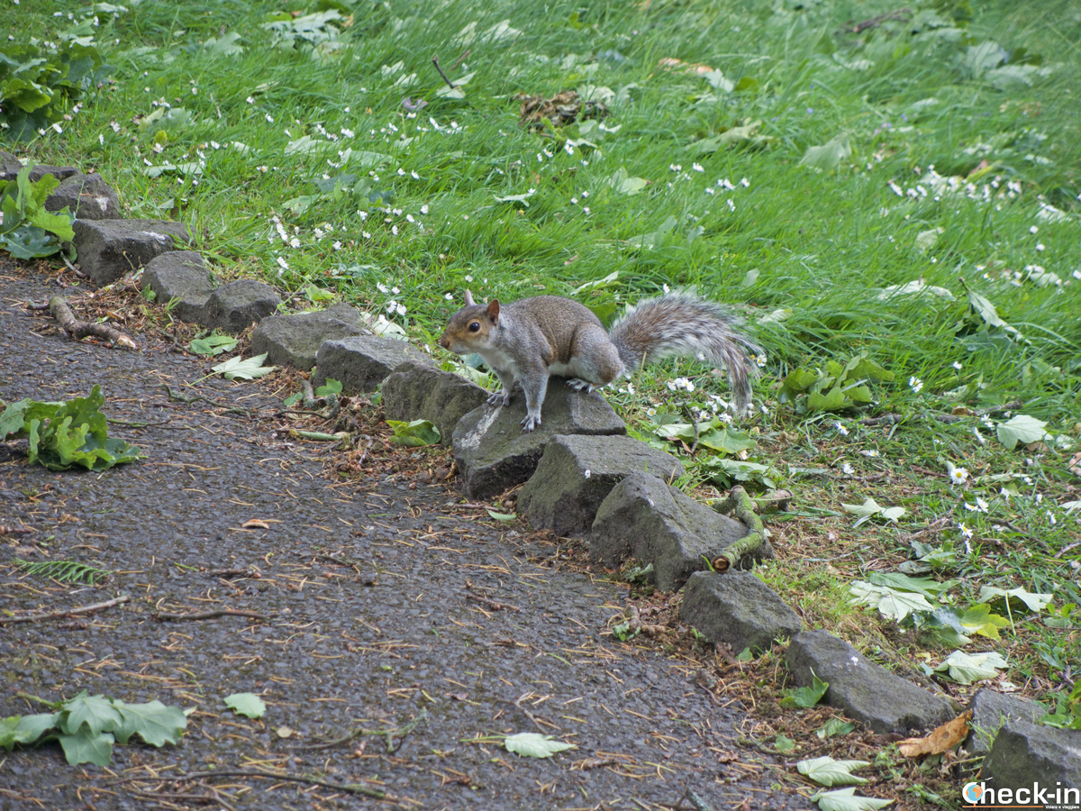 Scoiattolo, il vero abitante del parco Pittencrieff a Dunfermline