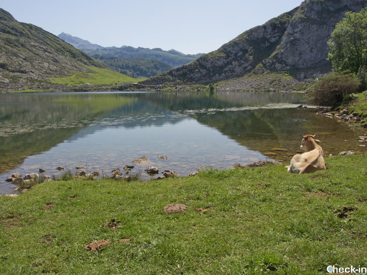 Relax sulle sponde del Lago Enol nel Parco dei Picos de Europa - Asturie, Spagna