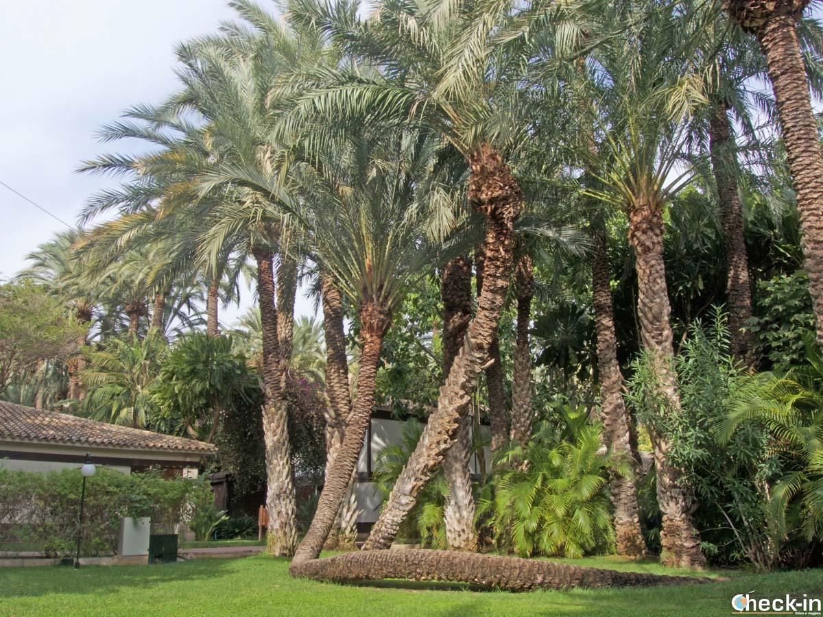 """La palma """"Cobra"""" all'interno dell'Hotel Huerto del Cura di Elche (Spagna)"""