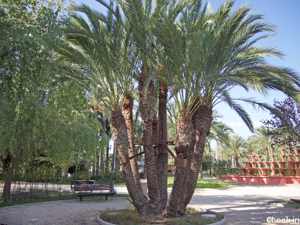 La Palmera de la Font, una delle palme singolari di Elche (Spagna meridionale)