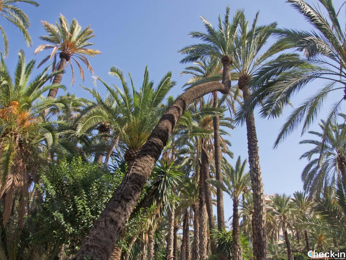 La palmera del Colom nel Parque Municipal di Elche (Spagna)