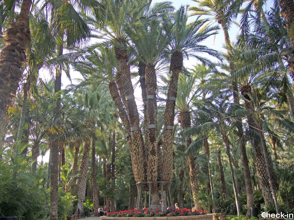 La Palmera Imperial custodita nel Jardín Huerto del Cura di Elche (Spagna)