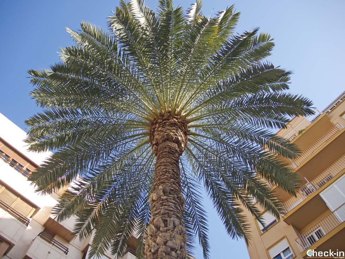 """La """"Bonica"""", considerata la palma perfetta di Elche - Spagna del sud"""
