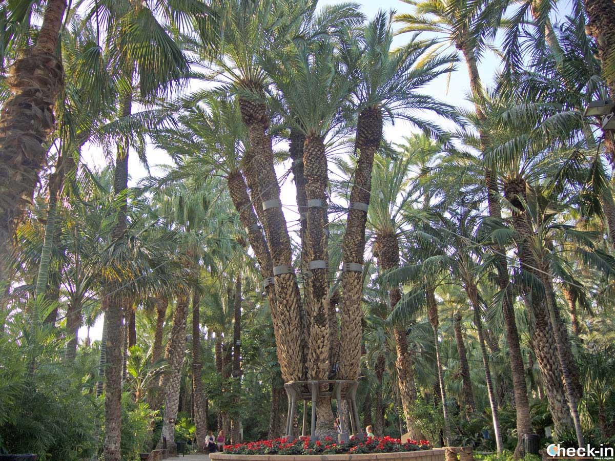 La Palmera Imperial - Jardín Huerto del Cura, Elche