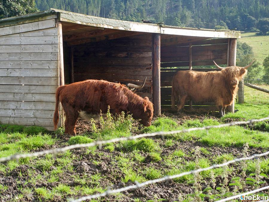 Dónde ver las vacas escocesas? Tour de las Tierras Altas en castellano