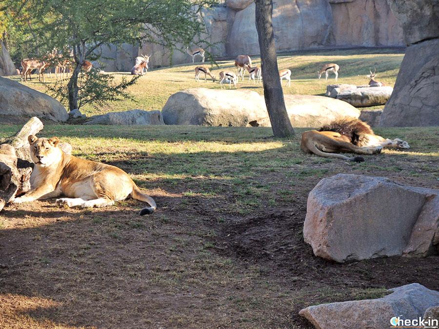Leones en el Parque Zoológico Bioparc de Valencia (España)