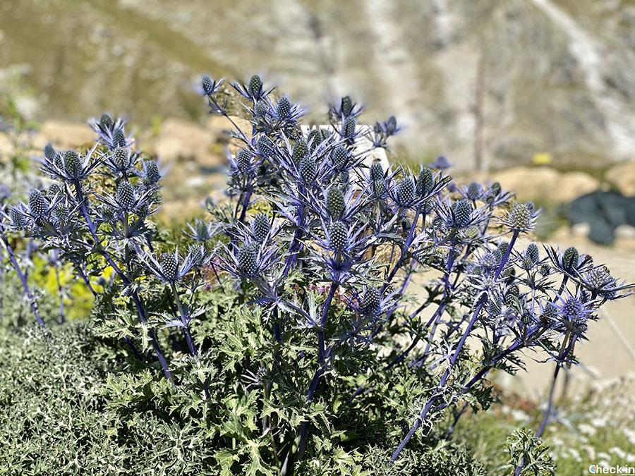 Specie vegetali tipiche dei Pirenei - Skyway Monte Bianco (Courmayeur)