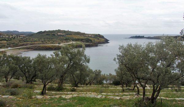 Olivos alrededor de la Casa de Dalí en Port Lligat - Costa Brava, España del norte